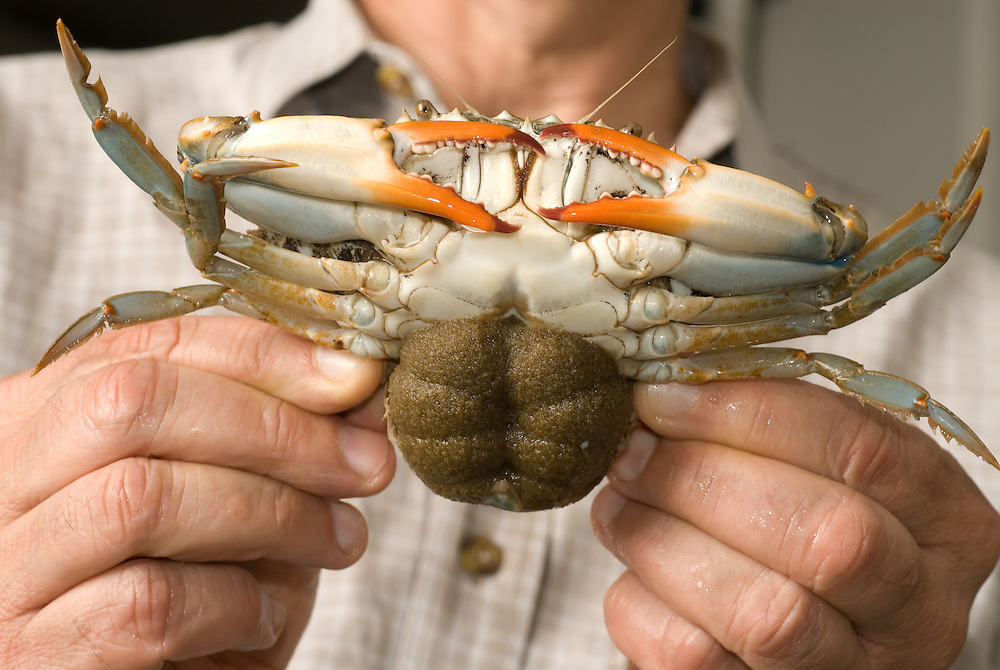 Male holding Crab, Crab breeding at COMB in Baltimore