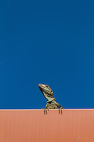 Iguana is a genus of omnivorous lizards native to tropical areas of Mexico, Central America, South America, and the Caribbean.