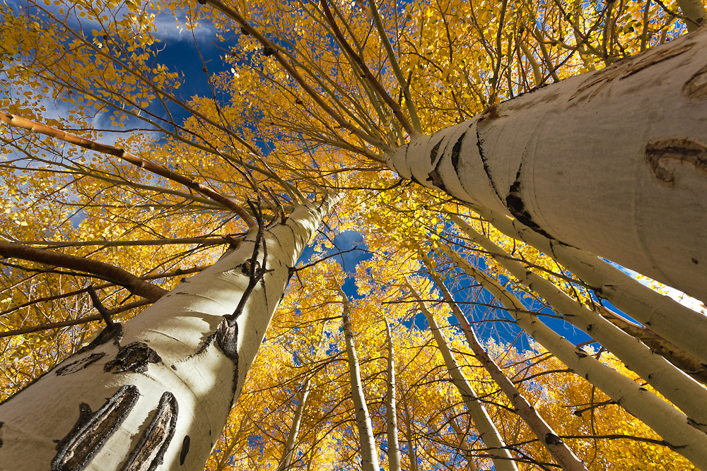 Wide angle view looking up to the sky, bright yellow Aspen trees in the Eastern Sierra mountains of California near Mammoth.