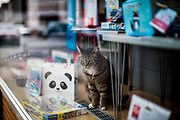 A cat is practising social distance from humans in a shopping window in Stierstadt .