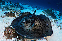 Black blotched or spotted fantail stingray, Mapia Atoll, West Papua, Indonesia.