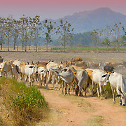 Brahman Cows, Bos taurus indicus, against agricultural fields at sunset in Ratchaburi province, Thailand.