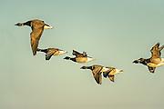 Atlantic Brant in flight