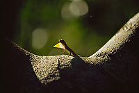 Male flying dragon lizard (Draco sp.) dewlap display.