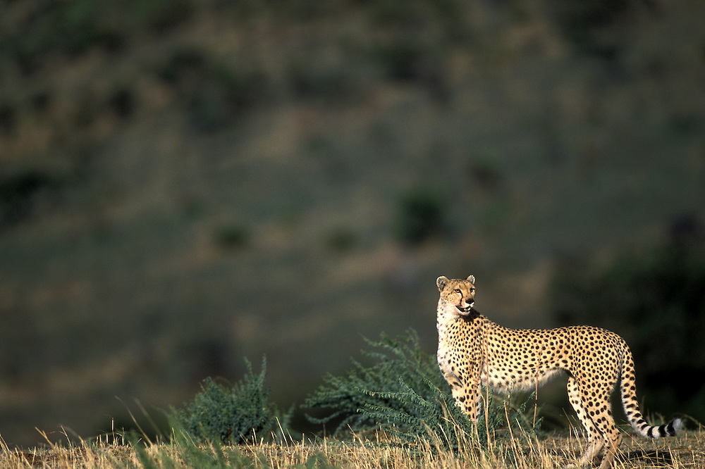 Africa, Kenya, Masai Mara Game Reserve, Adult Female Cheetah (Acinonyx jubatas) rests in tall grass after fleeing Lion pride