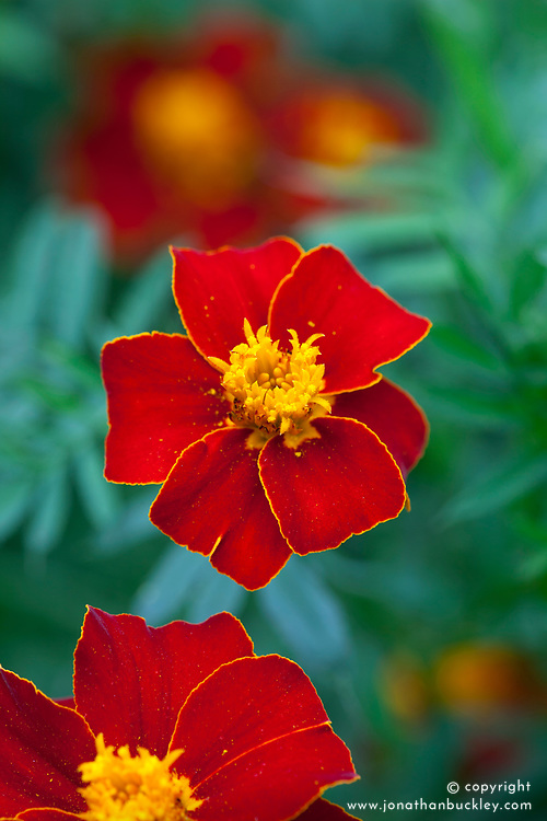 Tagetes patula 'Cinnabar' - French marigold