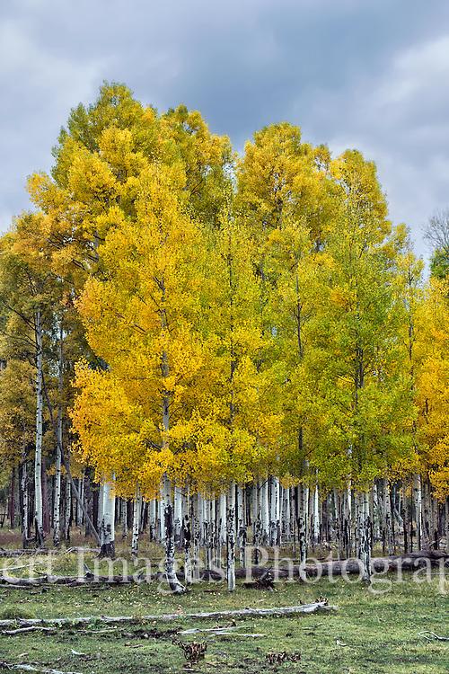Autumn Aspens<br /> White Mountains, AZ