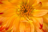 WA13257-00...WASHINGTON - Brightly colored petals of at dahlia in bloom.