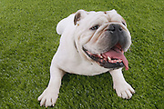 Bulldog lying in grass with head up