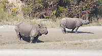 Adult and juvenile Greater One-horned Rhinoceros in Bardia National Park, Nepal