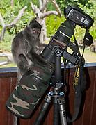 A silvery langur (Trachypithecus cristatus) enjoys his Nikon D4.