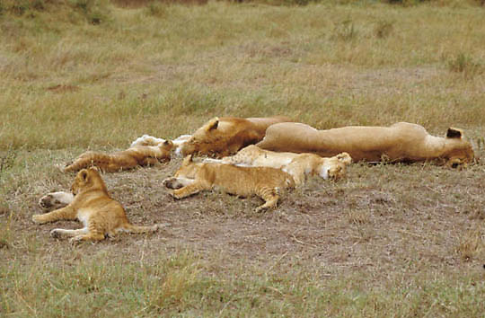 African Lion, (Panthera leo) Lioness and cubs sleeping.Serengeti Plains. Masai Mara Game Reserve. Kenya. Africa.