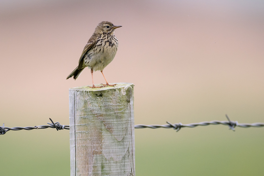 Meadow pipit, Islay, Scotland