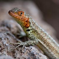 Ecuador, Galapagos Islands National Park, Santa Cruz Island, Puerto Ayora, Lava Lizard (Microlophus albemarlensis) at Darwin Research Station