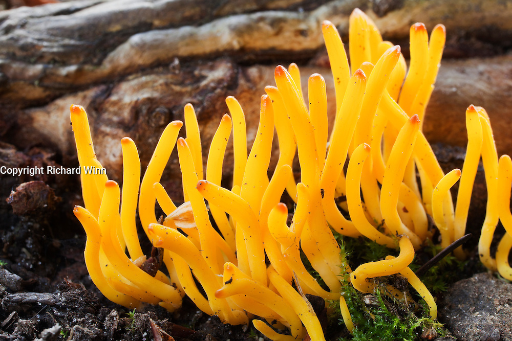 A clump of stagshorn or jelly antler fungus, backlit by sunlight filtering through tree branches.