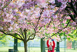 © Licensed to London News Pictures. 10/04/2014. London, UK. A woman photographs the blossom.  People walk and play amongst the pink cherry blossom in bright sunshine at Greenwich Park in London today, 10 April 2014,The weather forecast is set to be brighter and warmer over the coming days.Photo credit : Stephen Simpson/LNP