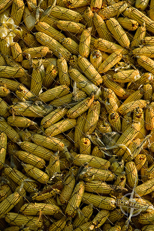 Corn in a corn crib to be used for animal feed.
