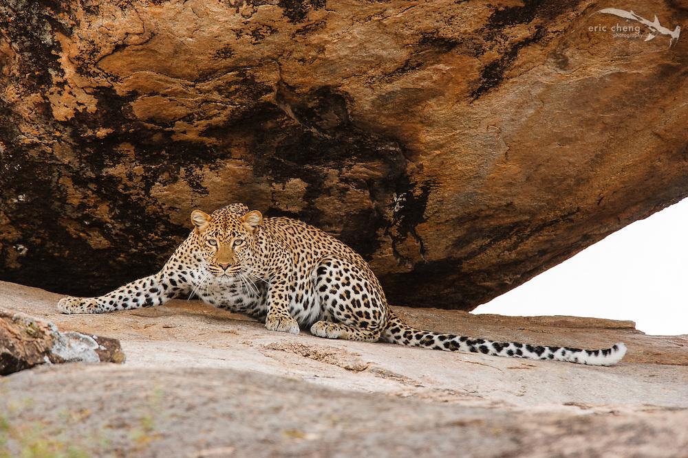 Leopard (Panthera pardus), Serengeti, Tanzania