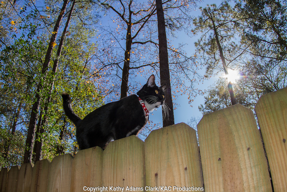 Tuxedo cat, Domestic cat, Felis catus, walking on fence, in backyard in The Woodlands in winter.