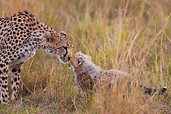 A female cheetah ( Acinonyx jubatus ) greets her cub after returning from a hunt, Masai Mara, Kenya