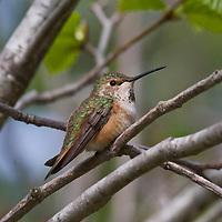 Female rufous Hummingbird near Revelstoke, British Columbia