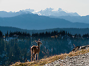 A deer and Mount Olympus (7980 feet / 2432 meters) are seen along Obstruction Point Road, Hurricane Ridge, Olympic National Park, Jefferson County, Washington, USA.