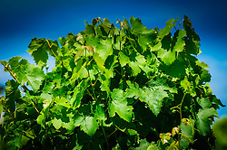 Close up of a grape vine in the Dordogne, France<br /> <br /> (c) Andrew Wilson | Edinburgh Elite media