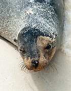 """Beach sand clings to a Galápagos Sea Lion (Zalophus wollebaeki) on Gardner Bay, a wet landing location on Española (Hood) Island, Galapagos Islands, Ecuador, South America. This mammal in the Otariidae family breeds exclusively on the Galápagos Islands and in smaller numbers on Isla de la Plata, Ecuador. Being fairly social, and one of the most numerous species in the Galápagos archipelago, they are often spotted sun-bathing on sandy shores or rock groups or gliding gracefully through the surf. They have a loud """"bark"""", playful nature, and graceful agility in water. Slightly smaller than their Californian relatives, Galápagos Sea Lions range from 150 to 250 cm in length and weigh between 50 to 400 kg, with the males averaging larger than females. Sea lions have external ear-like pinnae flaps which distinguish them from their close relative with whom they are often confused, the seal. When wet, sea lions are a shade of dark brown, but once dry, their color varies greatly. The females tend to be a lighter shade than the males and the pups a chestnut brown. In 1959, Ecuador declared 97% of the land area of the Galápagos Islands to be Galápagos National Park, which UNESCO registered as a World Heritage Site in 1978. Ecuador created the Galápagos Marine Reserve in 1998, which UNESCO appended in 2001."""