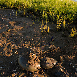 Mating Horseshoe crabs, Limulus polyphemus, at low tide on the salt marsh side of Long Beach in Stratford, Connecticut. This body of water is known as Lewis Gut and is adjacent to the Great Meadows Unit of McKinney National Wildlife Refuge.