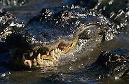 Vereinigte Staaten von Amerika, USA, Florida: amerikanischer Mississippi-Alligator (Alligator mississippiensis) schwimmt mit geoeffnetem Maul auf eine Beute zu. | United States of America, USA, Florida: American Alligator, Alligator mississippiensis, swimming towards a prey with open mouth. |