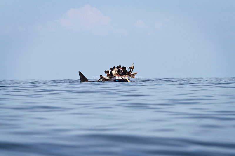 the fisherman stab the sperm whale while it close with their boat, Residents in the lamalera village, Indonesia cathing  sperm whales with traditional method to provide meals for the entire village and part of the Lembata island where the village is located..