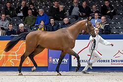 075, Most Wanted vd Kalevallei<br /> KWPN hengstenkeuring - 's Hertogenbosch 2020<br /> © Hippo Foto - Dirk Caremans<br /> 29/01/2020