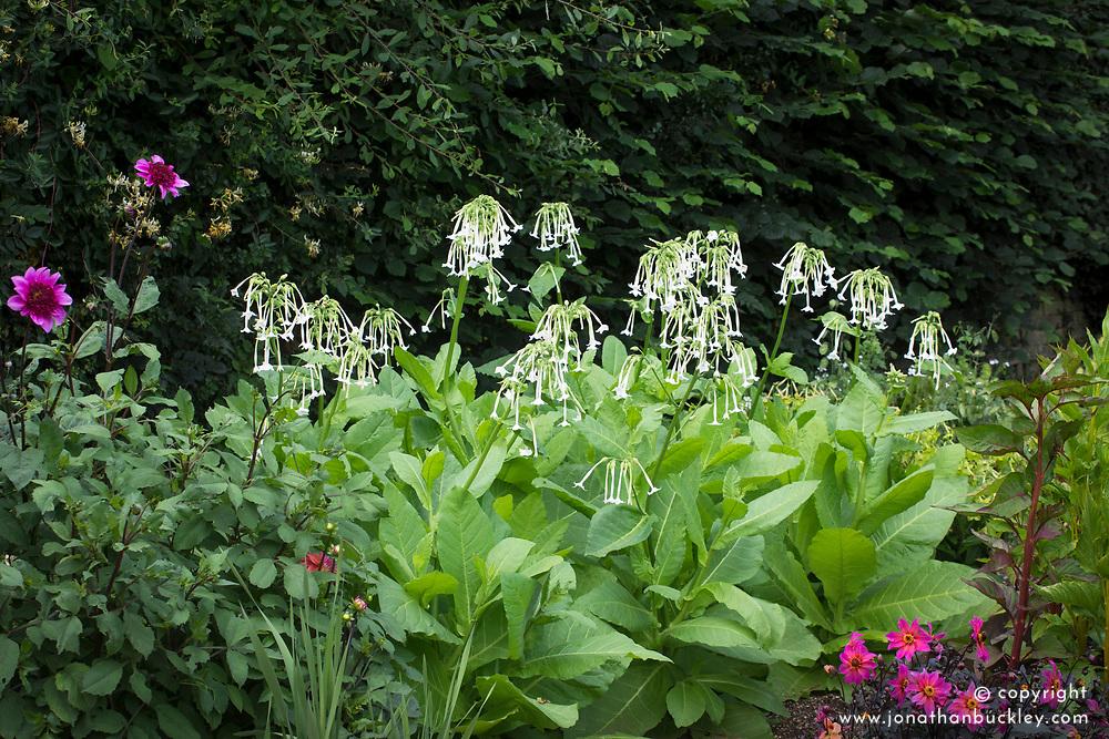Nicotiana sylvestris. Tobacco plant.