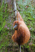 A Sumatran orangutan hangs out against the backdrop of a giant tree trunk, Bukit Lawang, Gungung Leuser National Park.