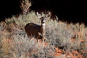 UT00134-00...UTAH - Mule deer in Aeches National Park.