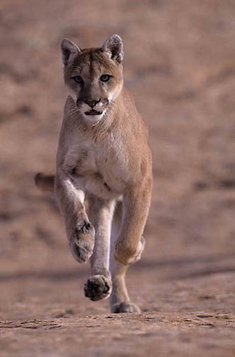 Mountain Lion or Cougar, (Felis concolor) In canyonlands of southern Utah. Running.  Red rock country. Captive Animal.
