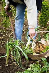 Harvesting winter vegetables into a trug - leeks