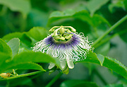 Blossom of a Passion Fruit (granadilla or Passiflora edulis)
