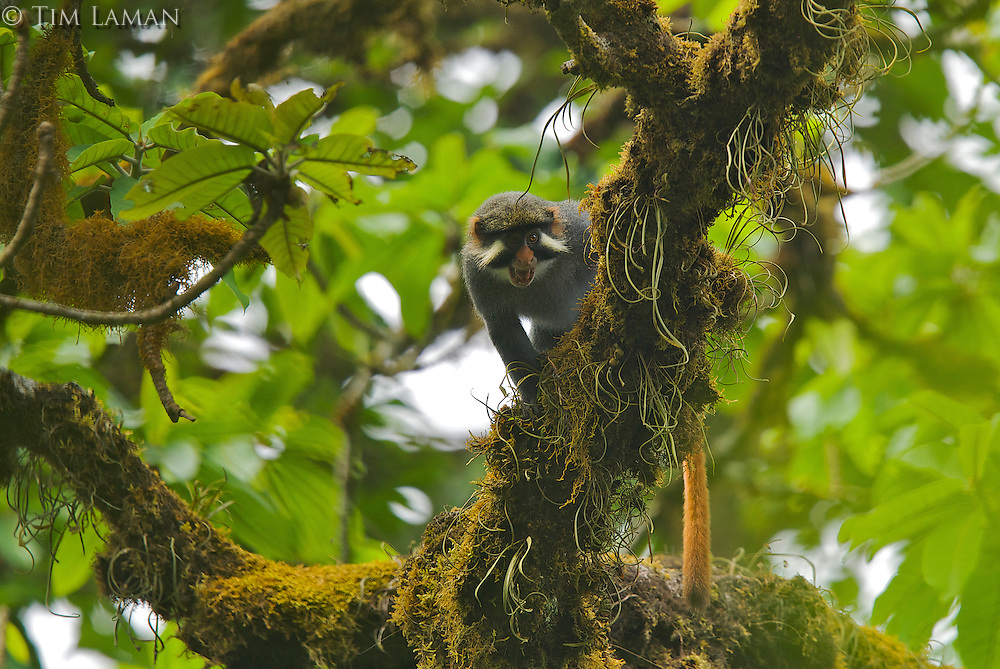 Red-eared Guenon (Cercopithecus erythrotis erythrotis) male.  Endemic subspecies to Bioko Island.  Endangered Species (IUCN Red List: VU).