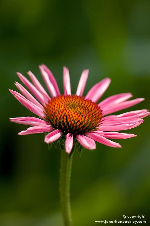 Echinacea purpurea - seedling from 'Augustkonigin'