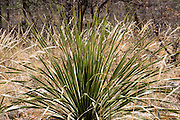 A green sotol plant (Dasylirion leiophyllum) emerges from a field of yellow grass on the McKittrick Canyon Trail in the Chihuahuan Desert. Hike some of the most scenic trails in Texas in Guadalupe Mountains National Park, in the Chihuahuan Desert, near El Paso, USA. The park contains Guadalupe Peak, the highest point in Texas (8749 feet/2667 m). The Guadalupe Mountains are the uplifted part of the ancient Capitan Reef which thrived along the edge of an inland sea more than 250 million years ago during Permian time. Capitan Reef is one of the best-preserved exposed Permian-age fossil reefs in the world. The park also features the landmark peak of El Capitan, along the historic Butterfield Overland Mail stagecoach line (1857-1861), which carried passengers and US Mail in just 22 days to San Francisco starting from Memphis, Tennessee or St. Louis, Missouri, twice a week. Hiking the ecologically-diverse McKittrick Canyon in Guadalupe Mountains NP is best when fall foliage turns color.