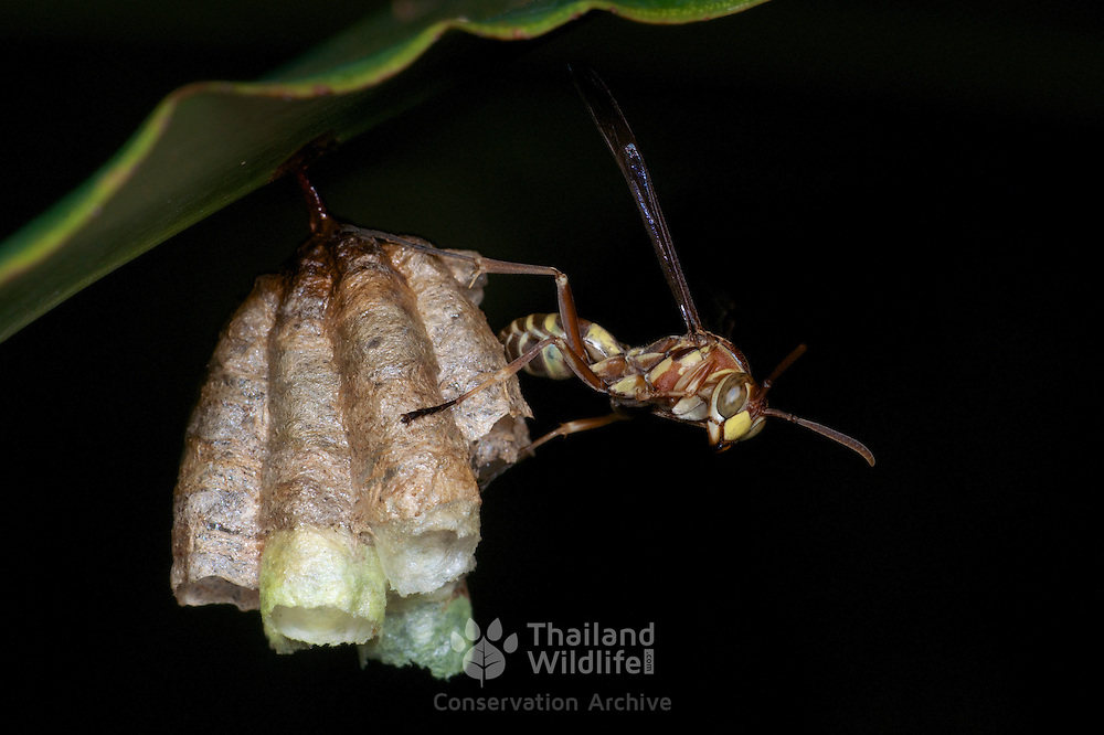 Lesser yellow-Jacket or Common Paper Wasp, Parapolybia varia, at the start of the building of a wasp nest in Khao Yai National Park. The nests are found normally under leaves around waist height.