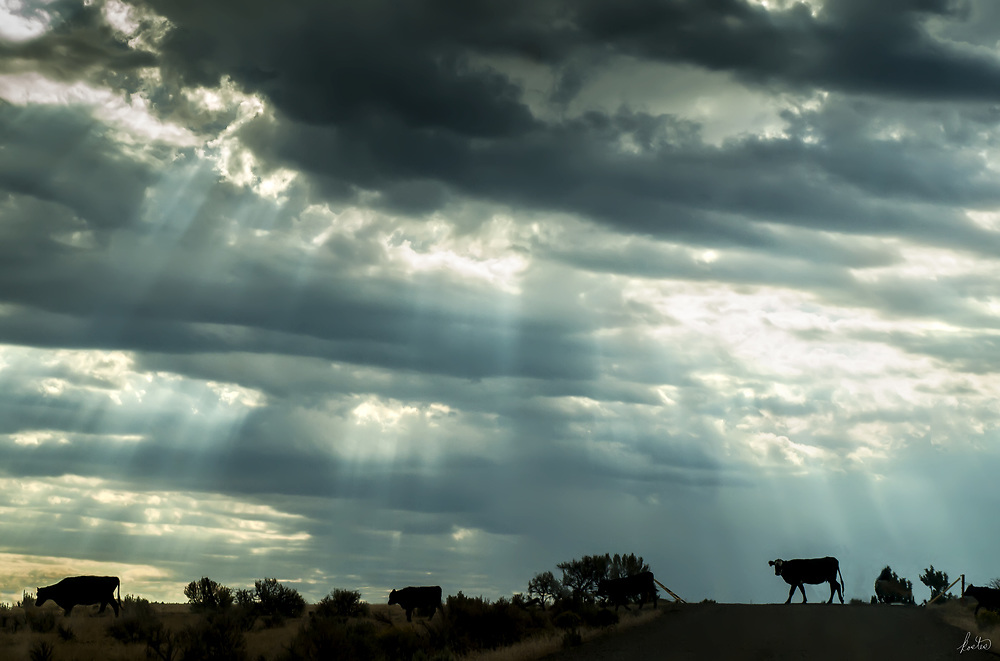 "Cattle crossing the road by a cattle grate in eastern Oregon with a wonderful sky filled with ""God Beams."""