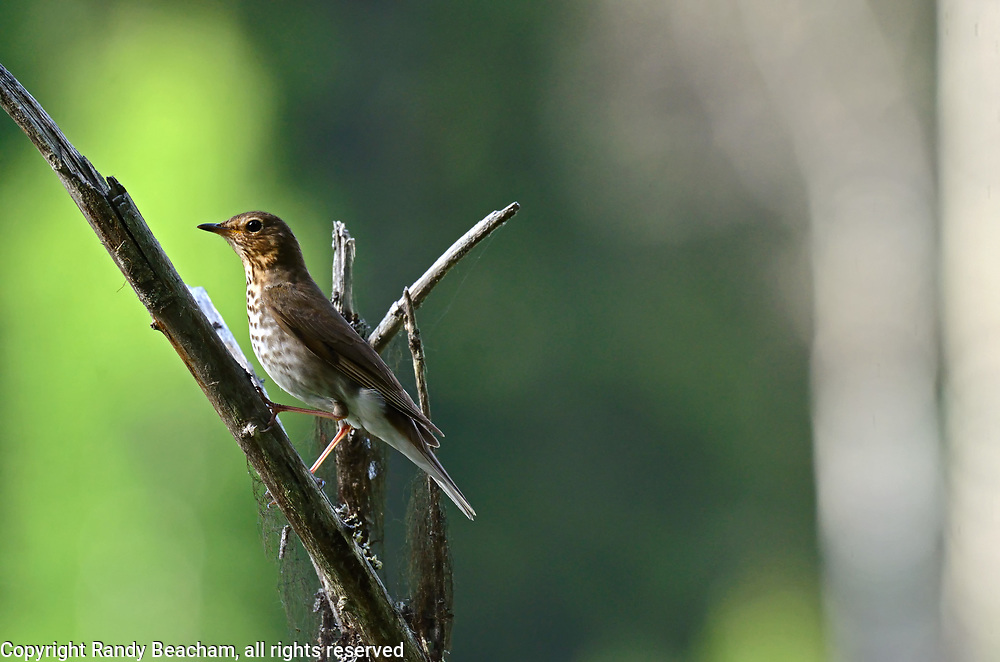 Swainson's thrush in spring. Yaak Valley in the Purcell Mountains, northwest Montana.