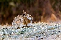 Snowshoe Hare (Lepus americanus) with transitional coat between winter and summer, Cherry Hill, Nova Scotia, Canada,