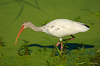White Ibis Eudocimus albus Green Cay Nature Centre Delray Beach Florida USA