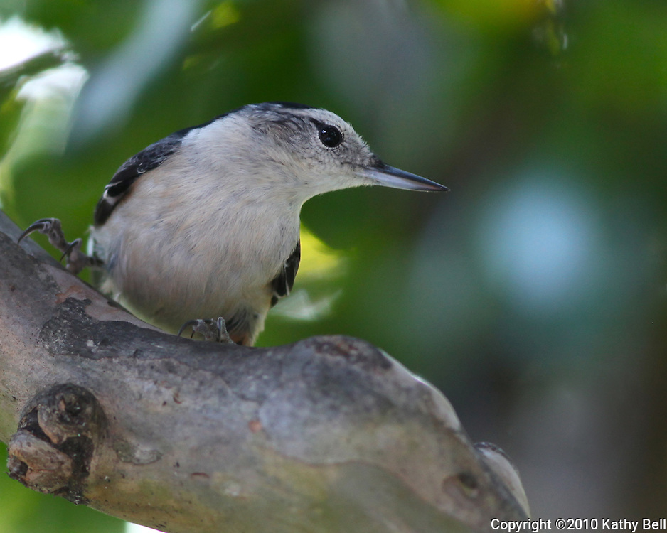 Image of a white breasted nuthatch.