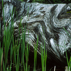 Driftwood Log and Grasses at Coldwater Lake, Mt. St. Helens National Volcanic Monument, Washington, US