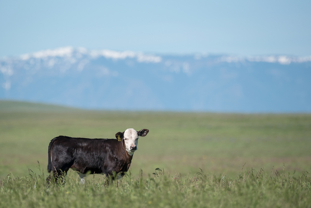 Cow on Oregon's Zumwalt Prairie with the Wallowa Mountains in the distance.