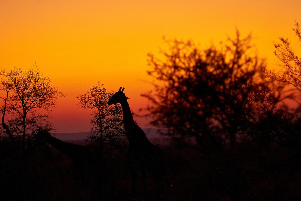 Giraffe head during sunrise in Kruger National Park South Africa